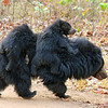 Sloth Bear with Cubs Climbing on Her Back