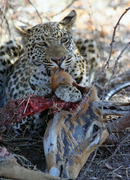 Leopard Eating Impala Kill