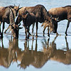 Wildebeests Drinking