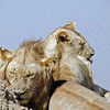 Lions with Flies