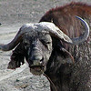 Buffalo - Cape or African with a Muddy Face