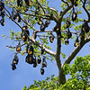 Rano Island Bat Tree