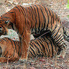Tigers Mating