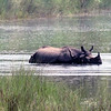 Rhinoceros in the River