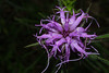 Liatris squarrosa (scaly blazing star) - flower - frontal view