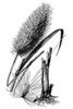 Description<br /> English: Saccharum giganteum (Walter) Pers. - sugarcane plumegrass<br /> Date1950<br /> SourceUSDA-NRCS PLANTS Database / Hitchcock, A.S. (rev. A. Chase). 1950. Manual of the grasses of the United States. USDA Miscellaneous Publication No. 200. Washington, DC.<br /> AuthorHitchcock, A.S. (rev. A. Chase). 1950. Manual of the grasses of the United States. USDA Miscellaneous Publication No. 200. Washington, DC. 1950.<br /> Licensing[edit]<br /> <br /> Public domainThis work is in the public domain in the United States because it is a work prepared by an officer or employee of the United States Government as part of that person's official duties under the terms of Title 17, Chapter 1, Section 105 of the US Code. See Copyright.<br /> Note: This only applies to original works of the Federal Government and not to the work of any individual U.S. state, territory, commonwealth, county, municipality, or any other subdivision. This template also does not apply to postage stamp designs published by the United States Postal Service since 1978. (See 206.02(b) of Compendium II: Copyright Office Practices). It also does not apply to certain US coins; see The US Mint Terms of Use.<br /> Great Seal of the United States (obverse).svg<br /> This file has been identified as being free of known restrictions under copyright law, including all related and neighboring rights.<br /> File history<br /> <br /> Click on a date/time to view the file as it appeared at that time.<br /> Date/TimeThumbnailDimensionsUserComment<br /> current01:13, 4 March 2013Thumbnail for version as of 01:13, 4 March 20131,333 × 2,000 (650 KB)Nonenmac (talk | contribs)User created page with UploadWizard<br /> You cannot overwrite this file.<br /> File usage on Commons<br /> <br /> There are no pages that link to this file.<br /> File usage on other wikis<br /> <br /> The following other wikis use this file:<br /> Usage on en.wikipedia.org<br /> User:Nonenmac/Flora of/Poales 1<br /> User:Nonenmac/Fl