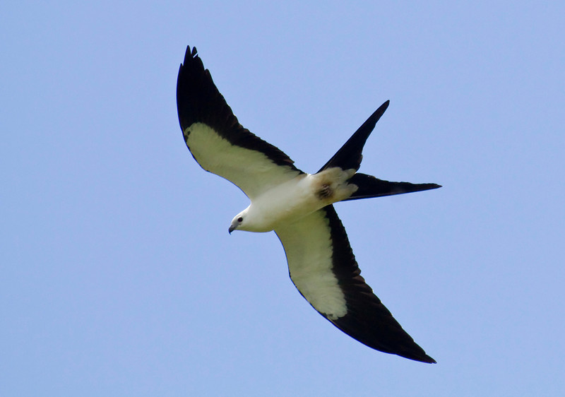 SWALLOW-TAILED KITE - Elanoides forficatus - WildSumaco, 22 Aug 2013, Napo, Ecuador