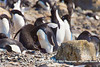 Adelie penguin with chick in center next to rock in the Brown Bluff, Antarctica, rookery.(The chick is all black.)