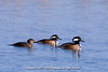 Two male Hooded Mergansers, plus a female Hooded Merganser trailing at Edwin B. Forsythe National Wildlife Refuge