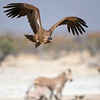 Vulture at waterhole