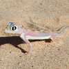 Palmatogecko in the Skeleton Coast Park.  They do not have eyelids so they must lick their eyeballs clean in order to keep them moist