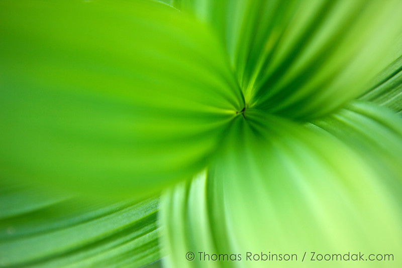 The view down the stock of a corn lily, also called False Hellebore (Veratrum viride) shows its bright green striations. Traveling at warp speed.
