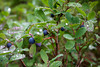 Wild Blueberries (Vaccinium angustifolium) are covered with dew in the Olympic National Park.