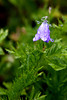 A blue bell (Hyacinthoides non-scripta) weighs down with rain.