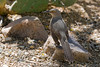Curve-billed Thrasher (Toxostoma curvirostre), Arizona