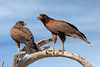 Harris' Hawk Pair