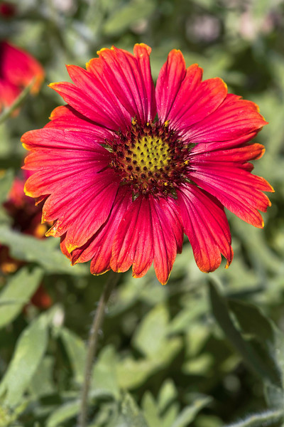 Arizona Red Shades Blanket Flower