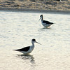 Black-winged Stilts at Wathba Lakes