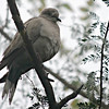 Collared Dove at Mushrif Gardens 2