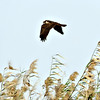 Marsh Harrier female at Wathba Lakes