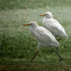 Western Cattle Egrets in Mushrif Gardens