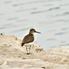 Common Sandpiper at Eastern Corniche