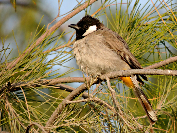White-eared Bulbul at Wathba Lakes