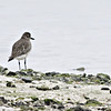 Grey Plover at Eastern Corniche