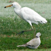 Western Cattle Egret and Collared Dove in Mushrif Gardens