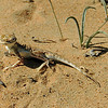 Arabian toad-headed agama (Phrynocephalus arabicus), same specimen in more relaxed mood. - Sharjah desert near airport, 15/02/2013, 11 a.m.