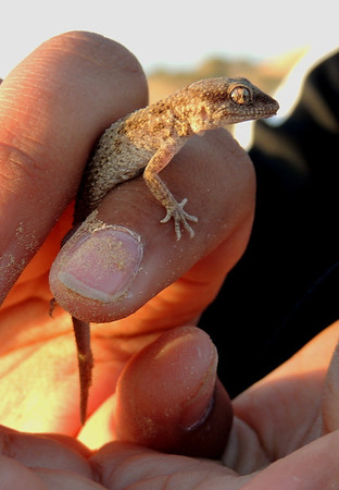 Baluch ground gecko (Bunopus tuberculatus), hand-held for scale. - Sharjah desert near airport, 15/02/2013, 7 a.m.