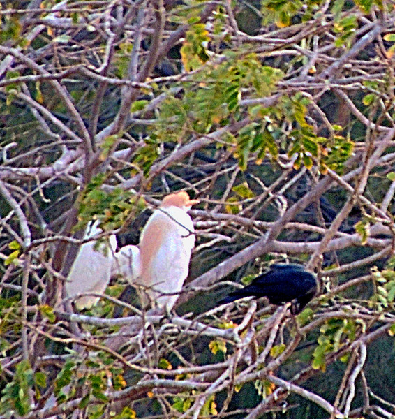Western Cattle Egrets Roosting with Crow