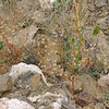 TBD, growing in wadi - daisy/aster family, Asteraceae