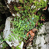 Liverwort, moss and fern