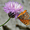 Crab Spider with captured butterfly
