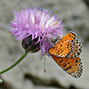 Crab spider and captured butterfly