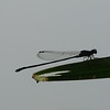 Unidentified Black Damselfly