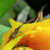 Unidentified grasshoppers on prickly pear