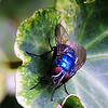 Green Bottle Fly on Ivy