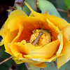 Unidentified grasshopper on prickly pear