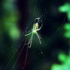 Green spider on web