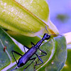 Unidentified beetle on Datura
