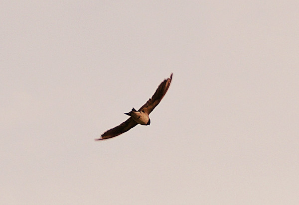 Pale Martin in flight