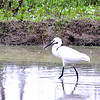 Little Egret in rice paddy