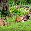 Sri Lankan Axis Deer - doe and buck