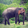 Sri Lankan Elephant - female