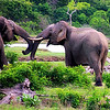Sri Lankan Elephants - female and young male