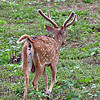 Ceylon Axis Deer - young buck