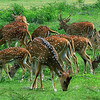 Sri Lankan Axis Deer - small herd