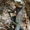 Common Garden Lizard
